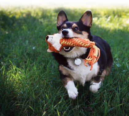 Koira Narskuttaa Hampaita